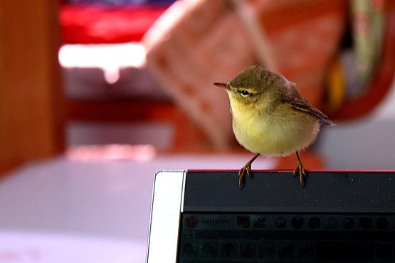 Bébé oiseau, un compagnon d'une heure entre Triagoz et Batz