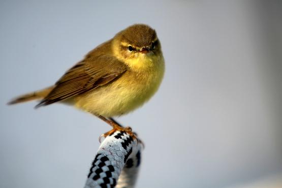Bébé oiseau sur une écoute de génois