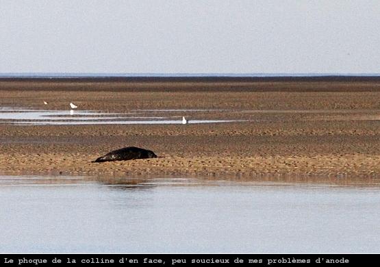 Un phoque, au moment de l'échouage dans la baie